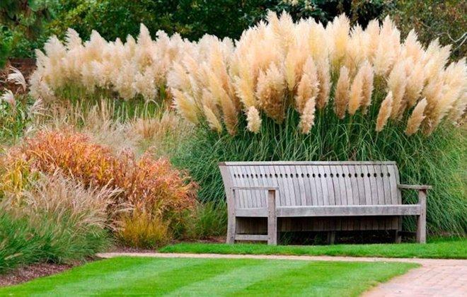 Пампасы трава