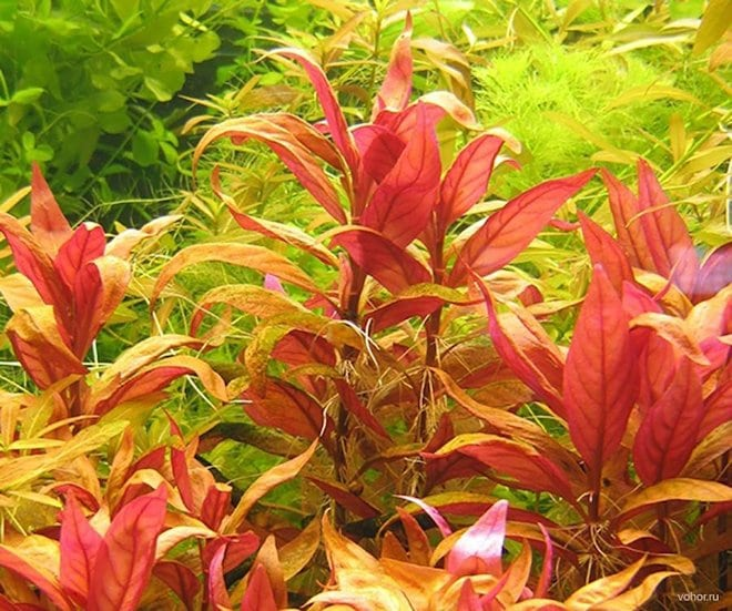 аквариумное растение