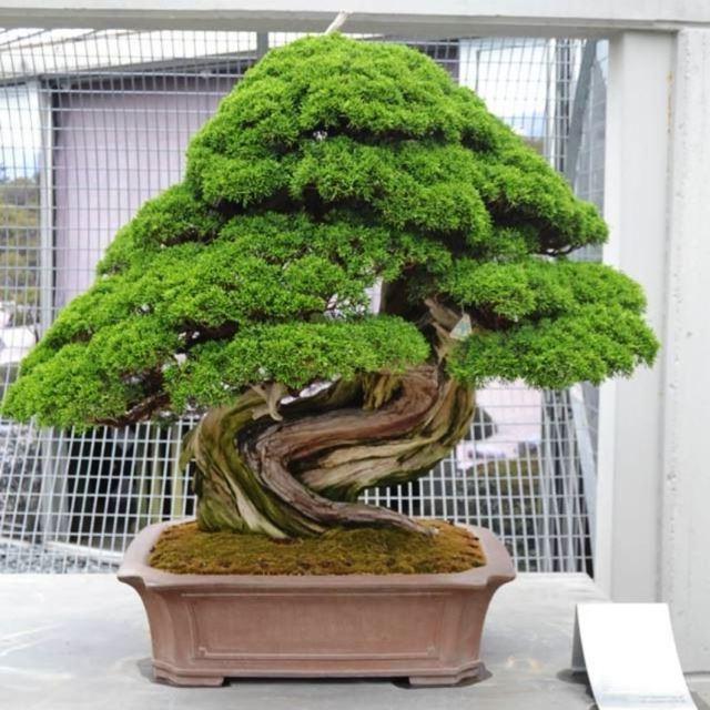 японский кедр