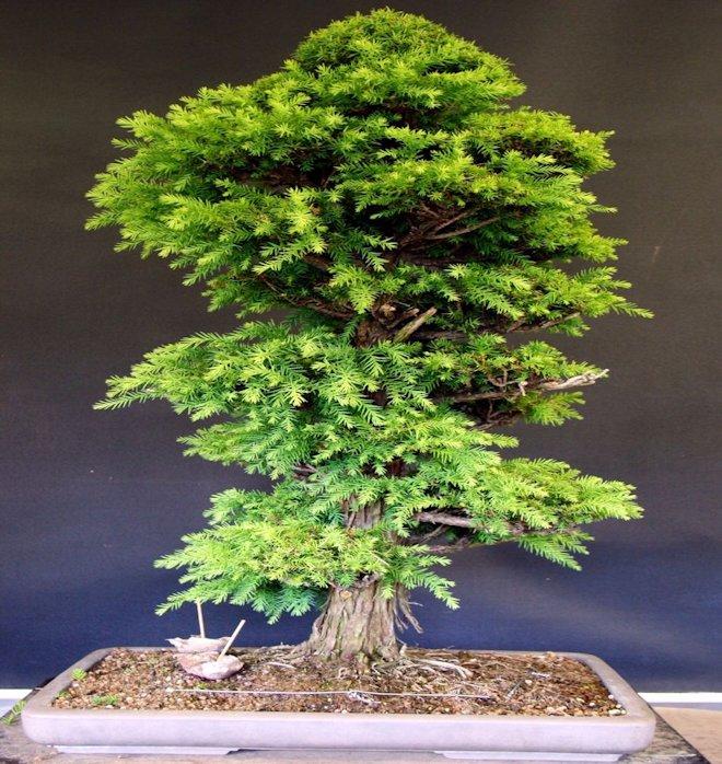 деревцо Вandai-sugi