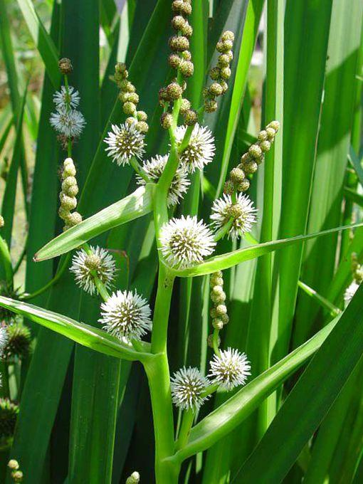 Ежеголовник северный sparganium hyperboreum