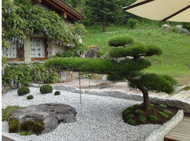 японского кедра в ландшафтном дизайне