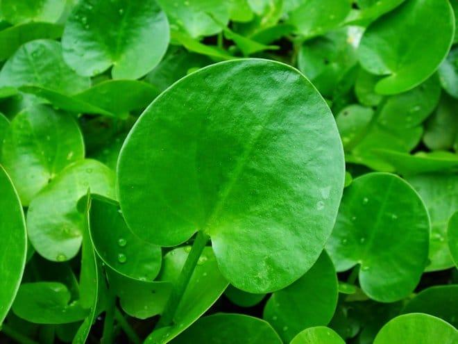листья водокраса