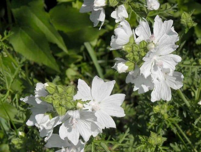 цветы просвирника