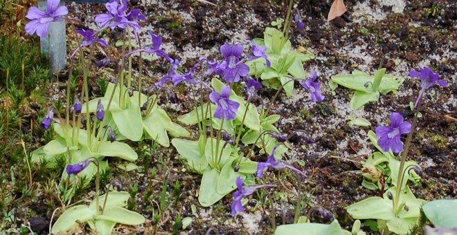 Жирянка крупноцветковая pinguicula grandiflora