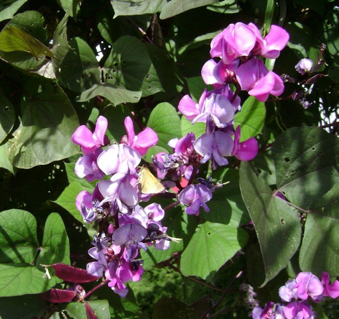 цветы Кокорник