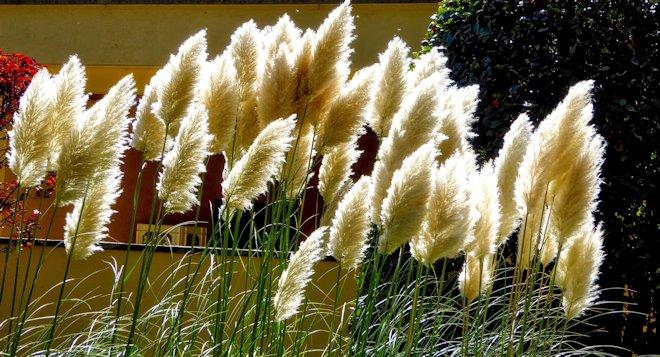 куст пампасной травы