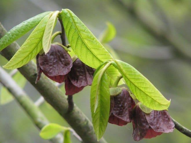 цветы бананового дерева