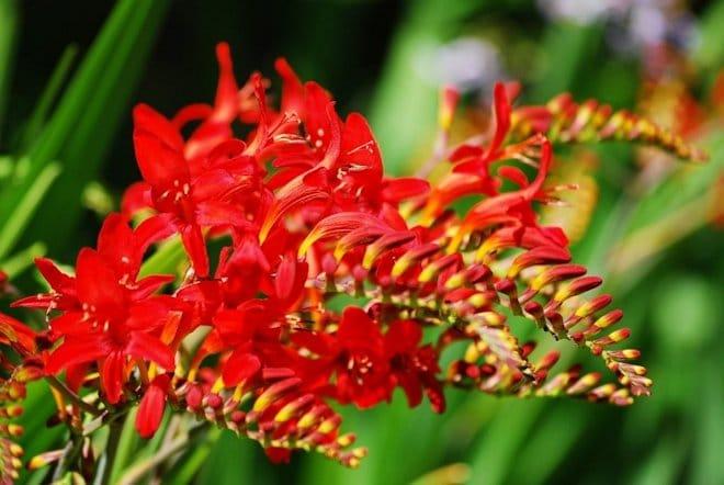 цветок Монтбреция