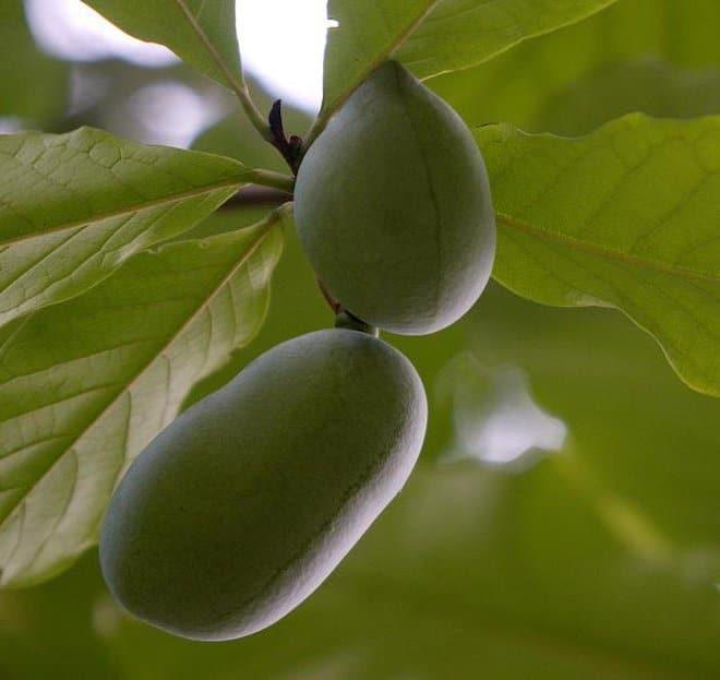 Азимина Инкана (шерстистая папайя)