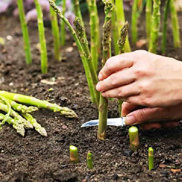 сбор зеленого сорта спаржи