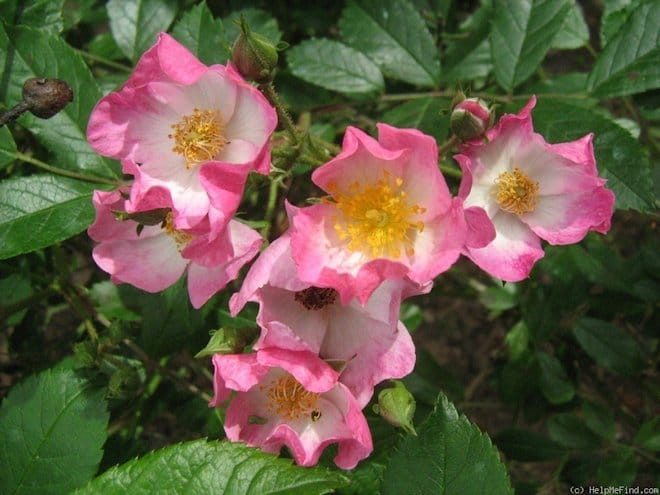 Роза эглантерия