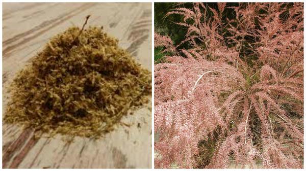 семена тамарикс