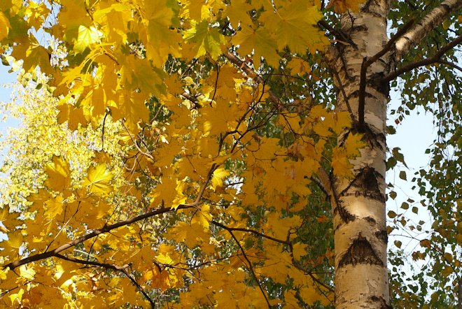 Клён-берёза или Клён жёлтый