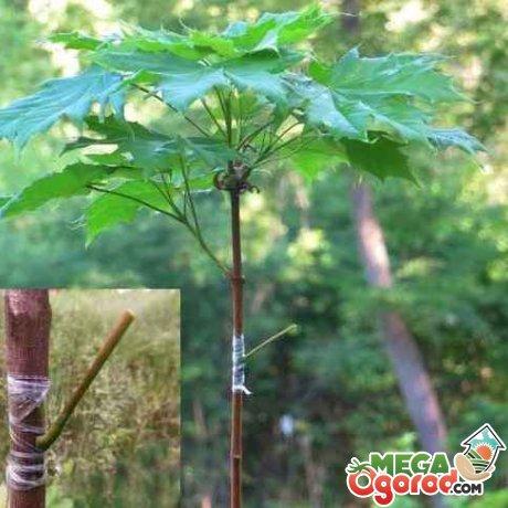 Прививка деревца