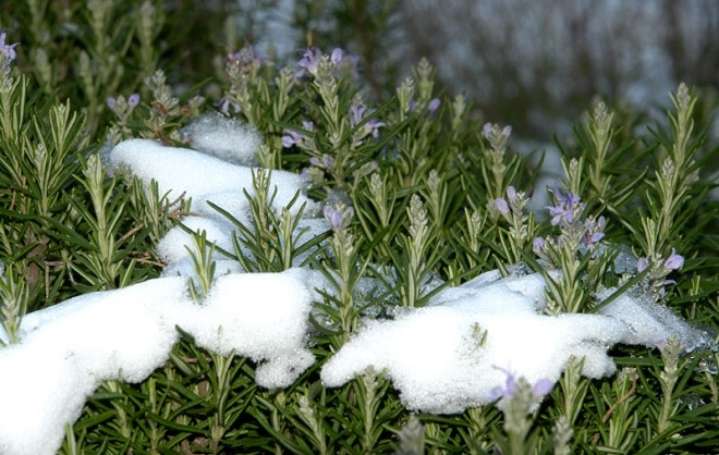 розмарин под снегом