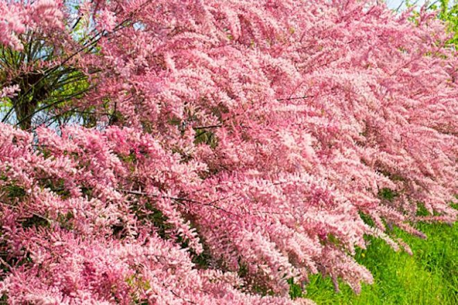 цветение бисерника