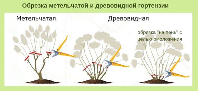 Обрезка метельчатой и древовидной гортензии