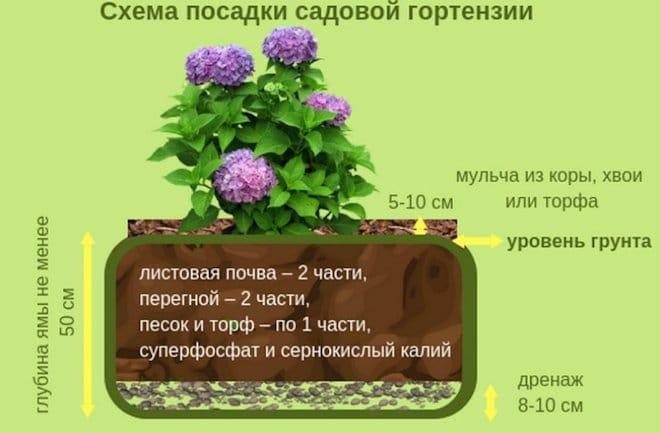 схема посадки садовой гортензии