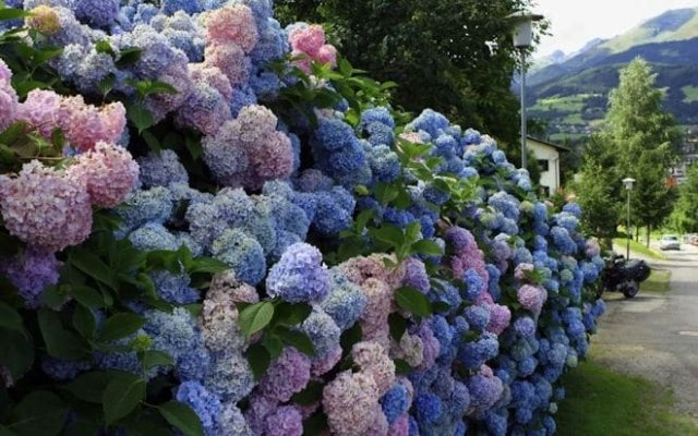 изгородь из цветов