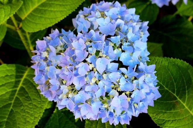 Саммер Блюм Стар голубая Blue Bloom Star