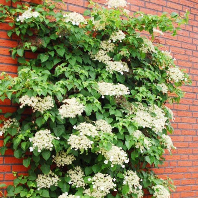 Кордифолия Cordifolia