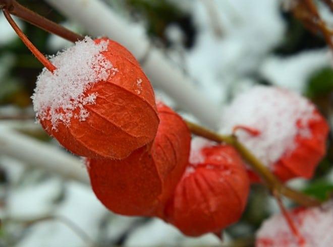физалиса зимой