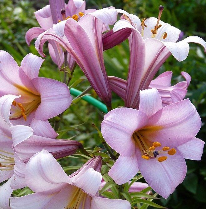 трубчатая лилия
