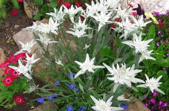 эдельвейс в саду