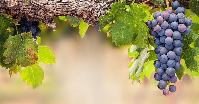 виноград распространение