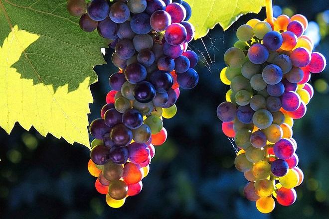 применение винограда
