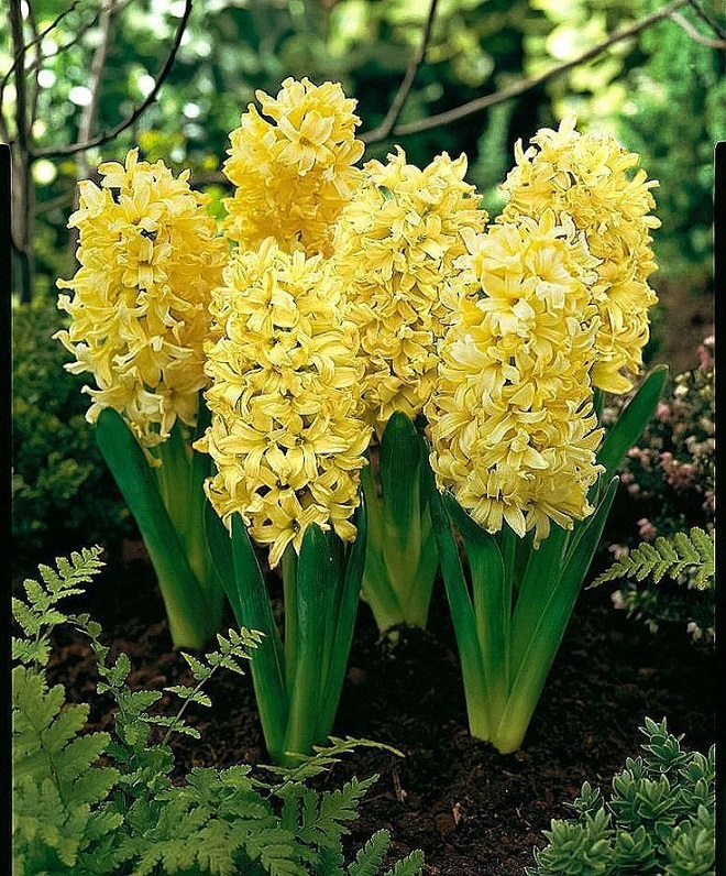 желтый гиацинт